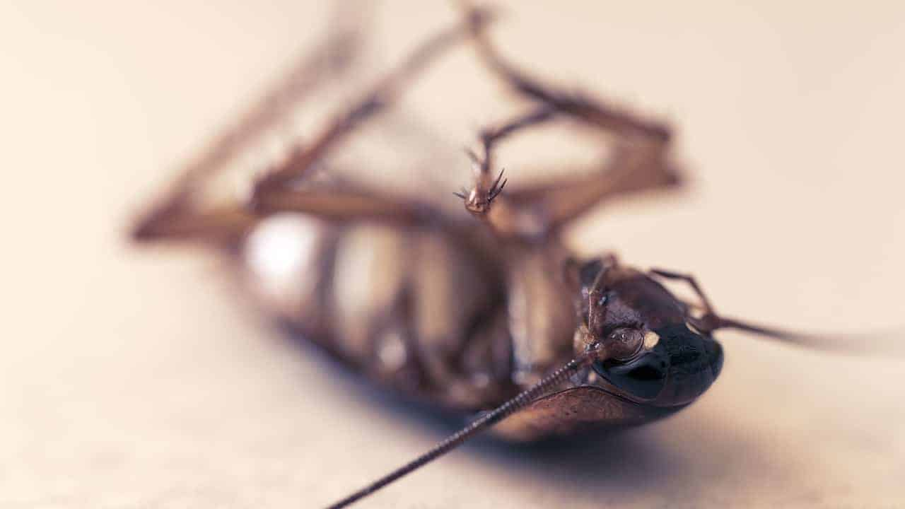 dead cockroach close up