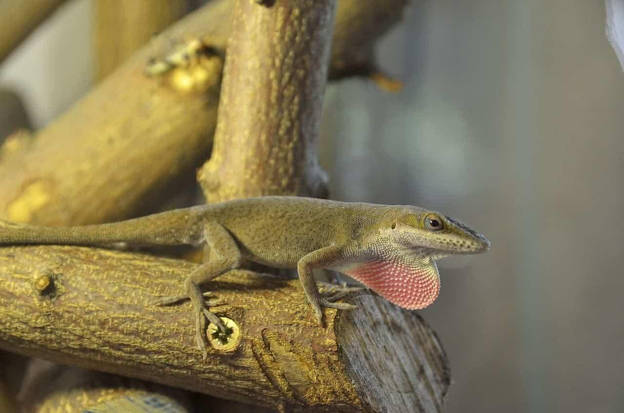 anole lizard tree