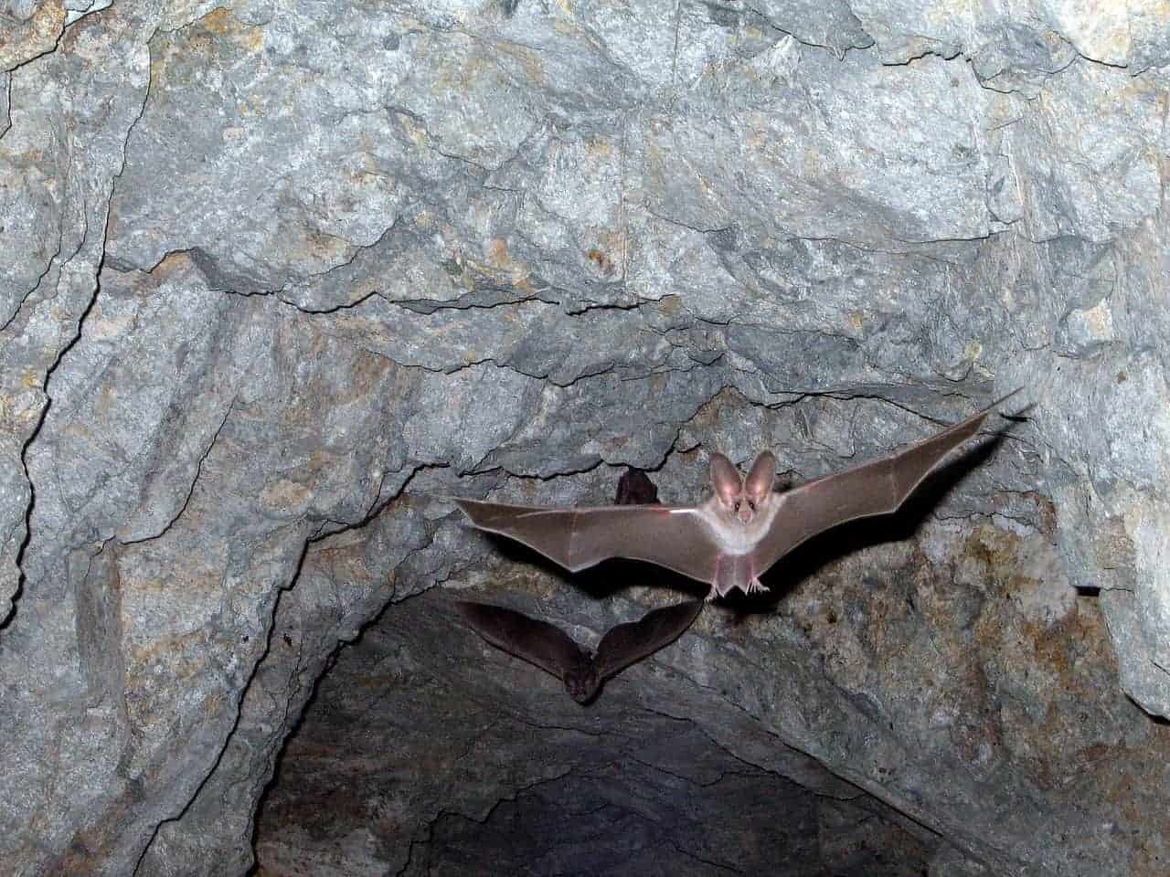 bat flying wings