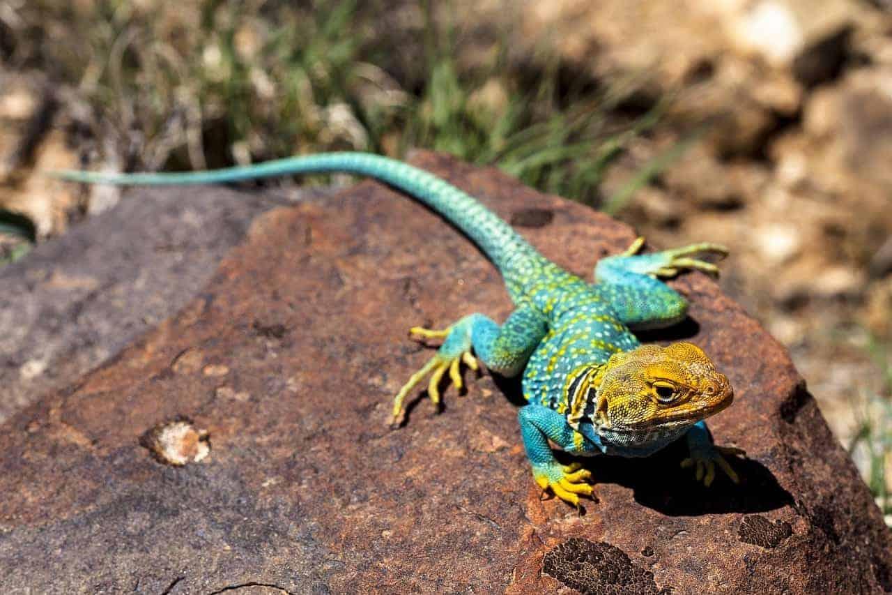 colorful lizard on rock