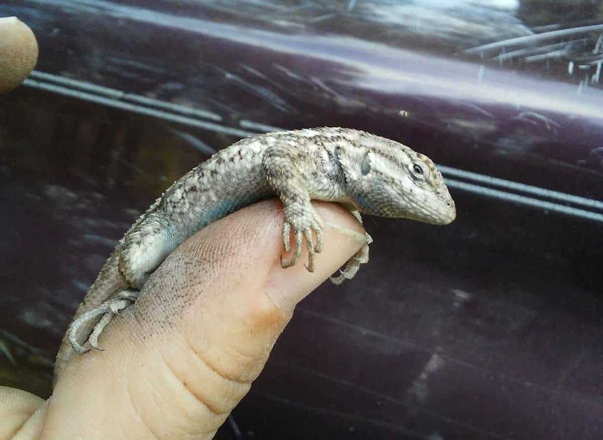catching lizard thumb