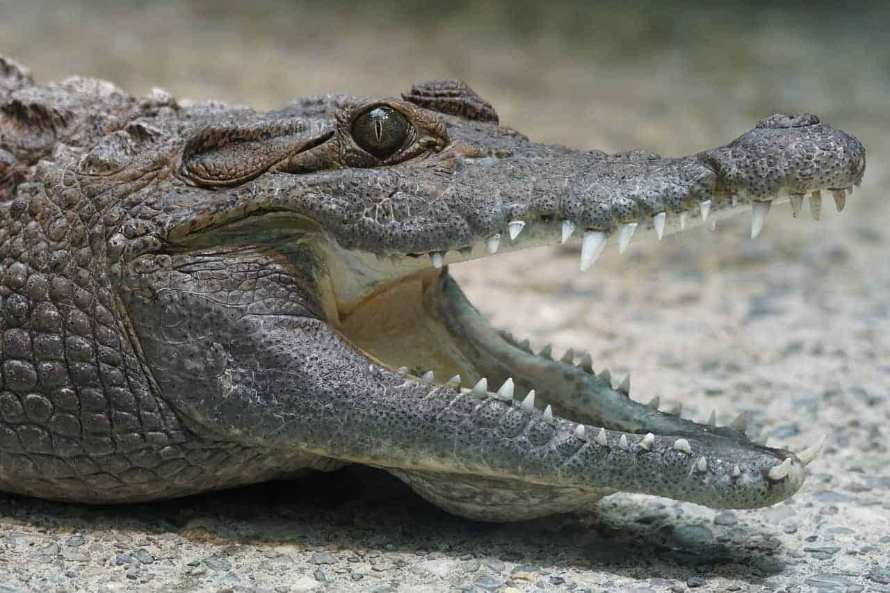mouth open crocodile