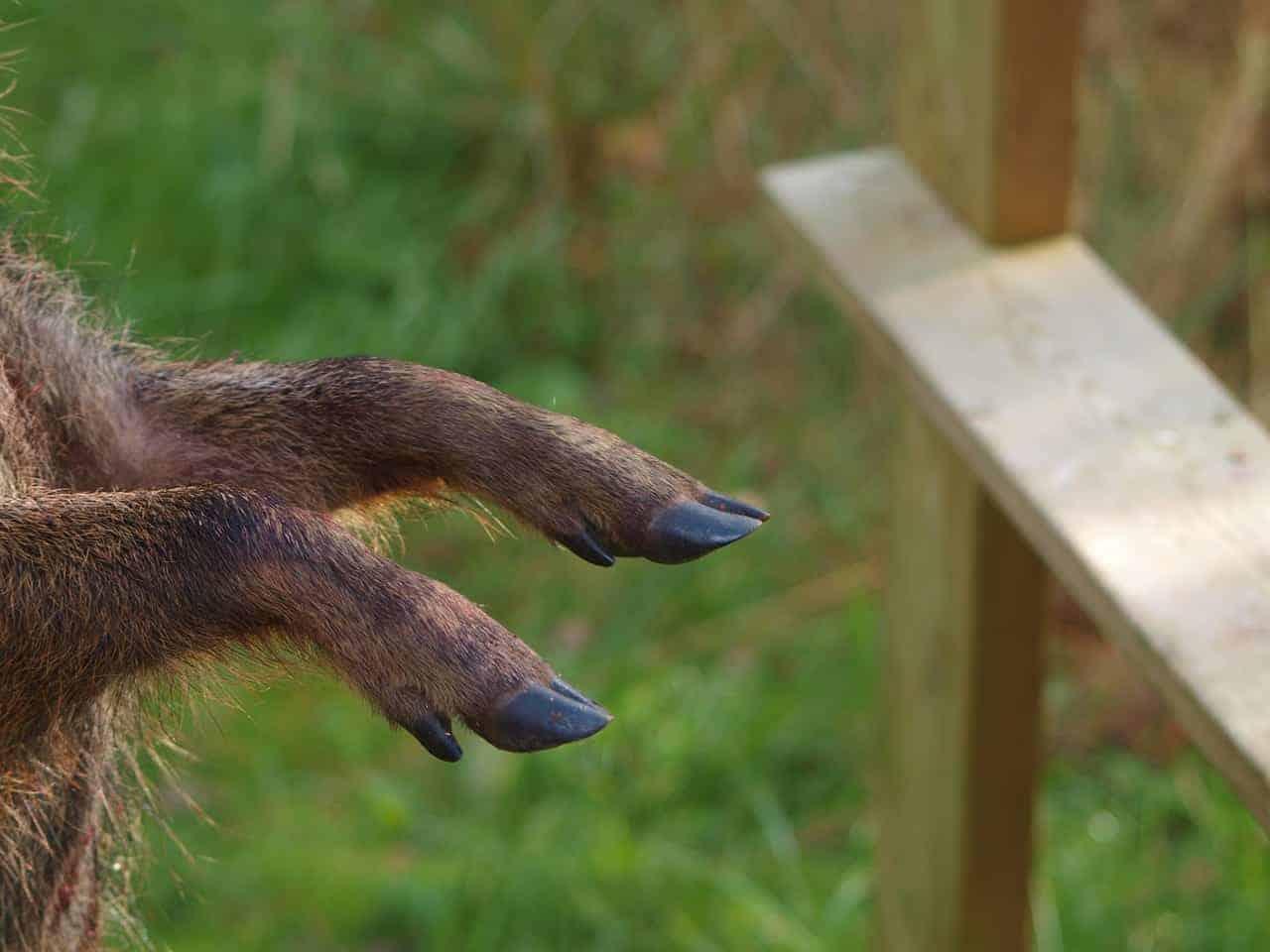 pig feet fence