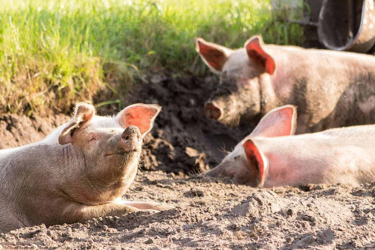healthy pigs playing