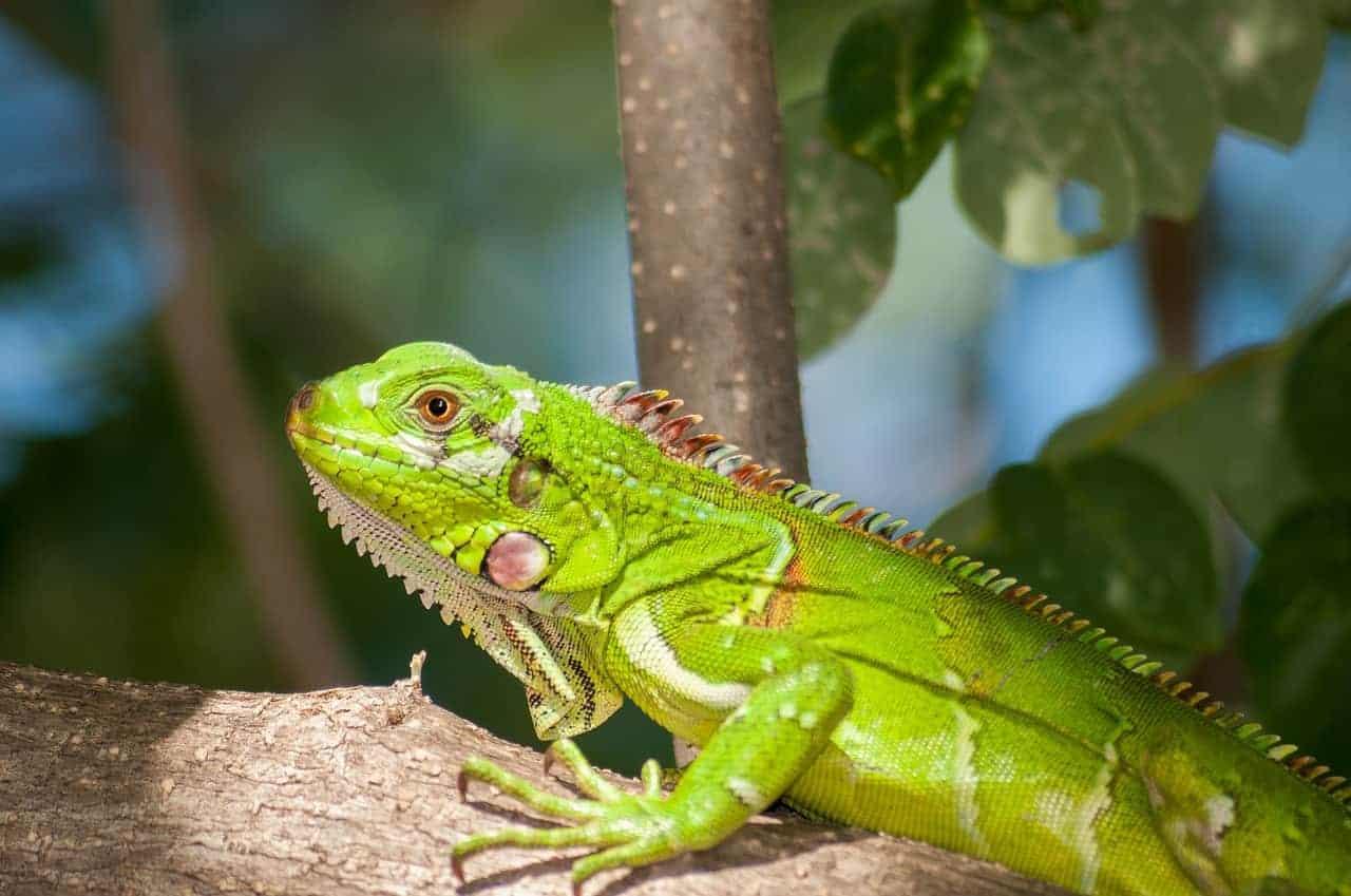 iguana light green resting