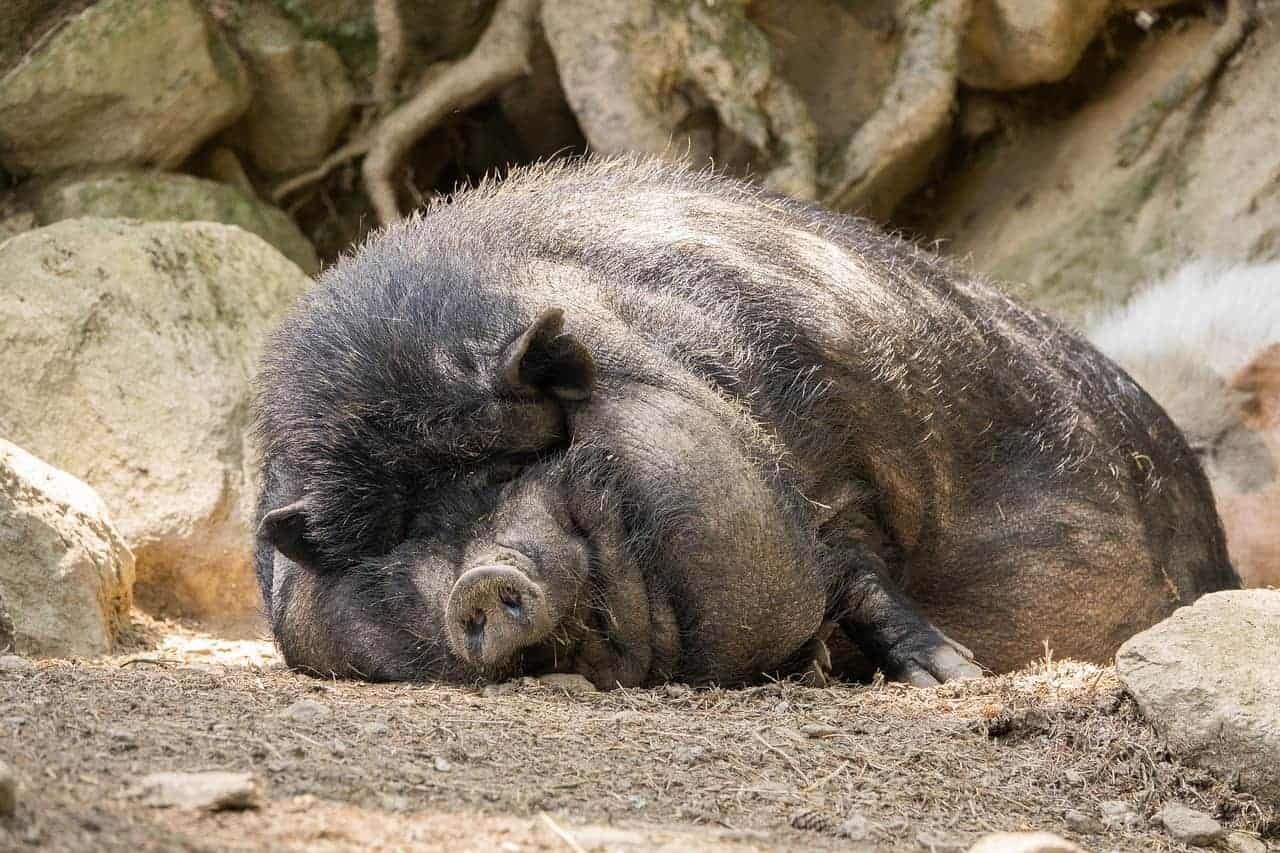 large pig asleep