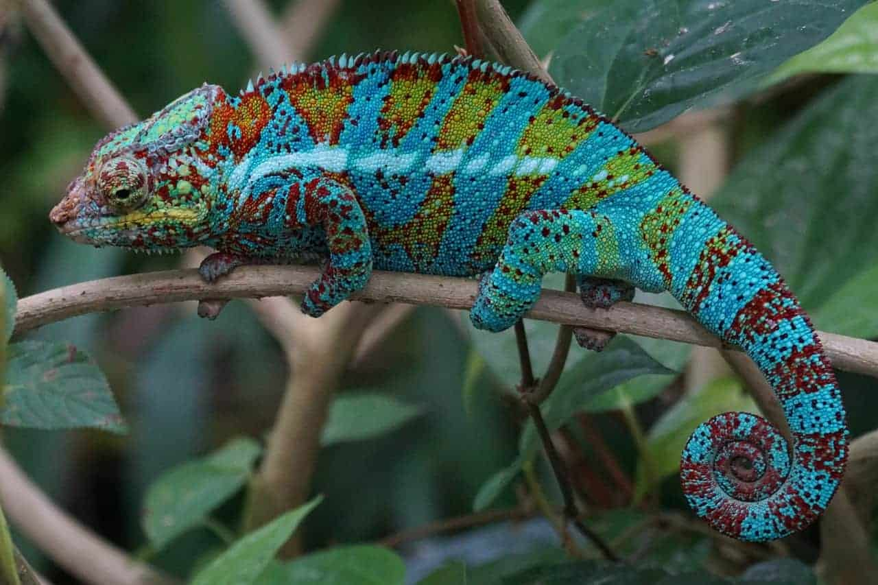 lizard changing colors