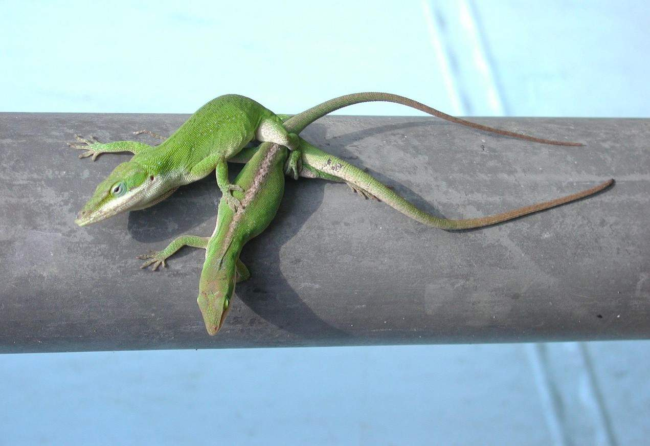 lizards mating green