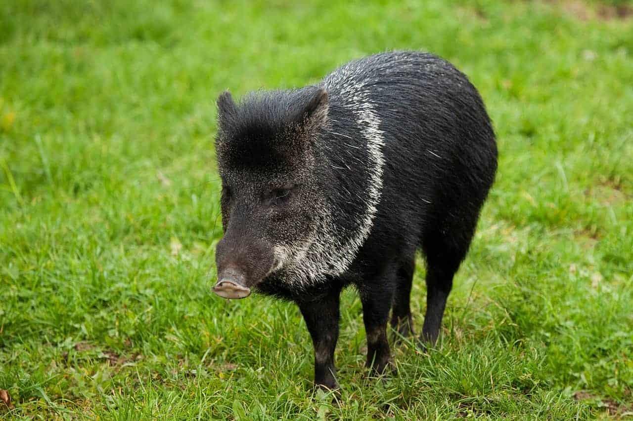 male pig black