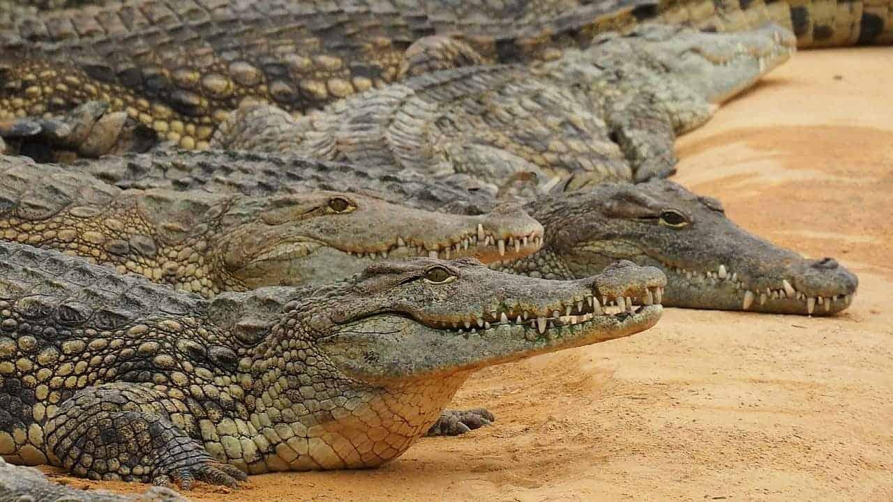 multiple crocodiles