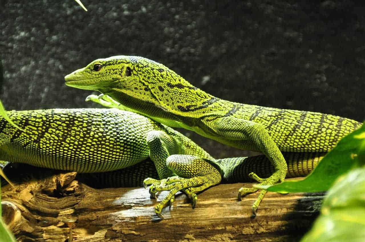 multiple lizards