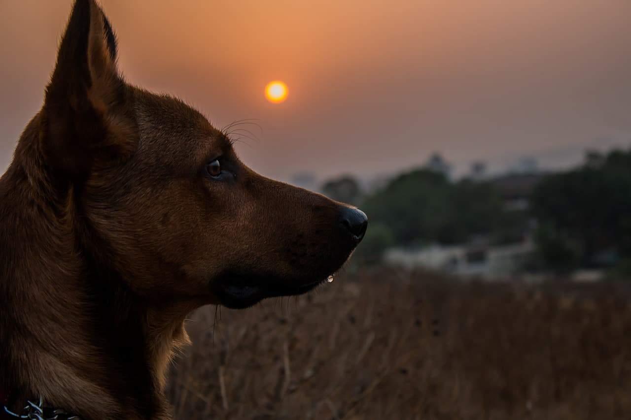 dog sunset field