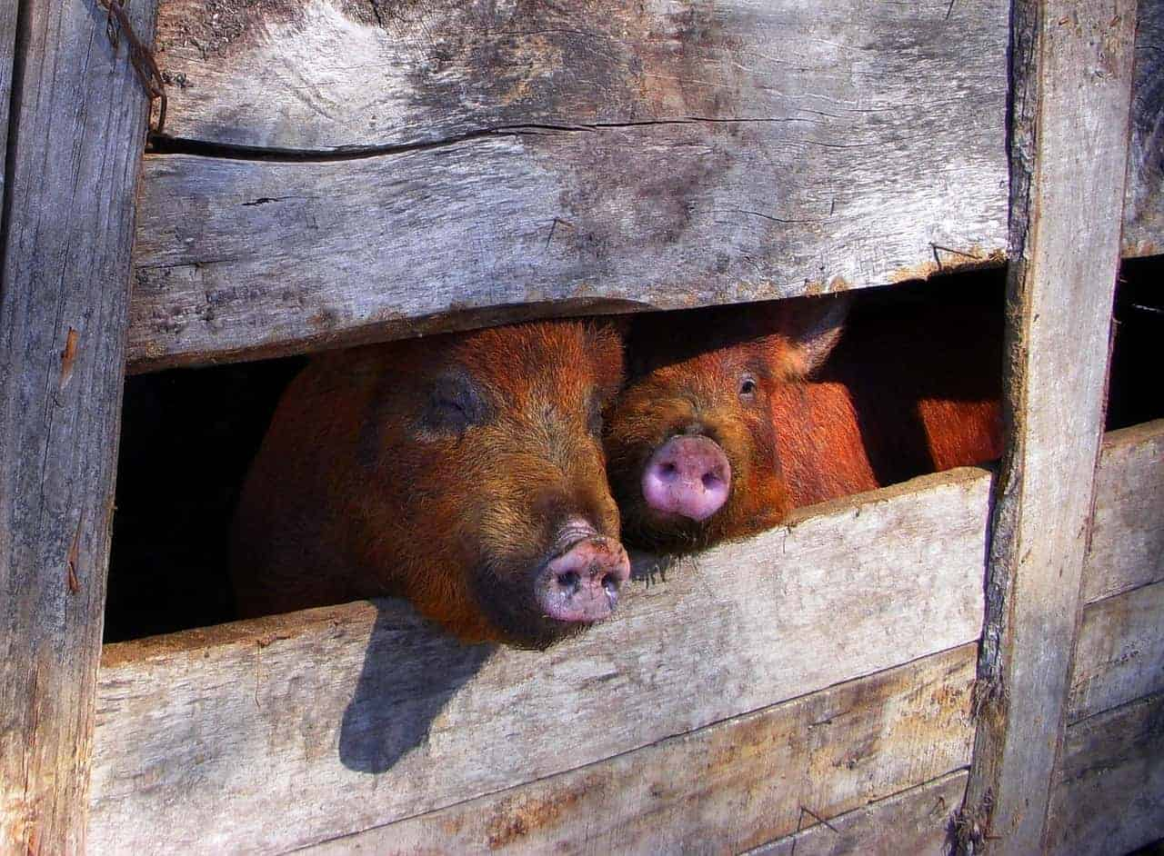 pig pen pigs peeking