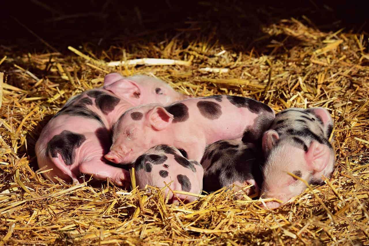 piglet asleep hay