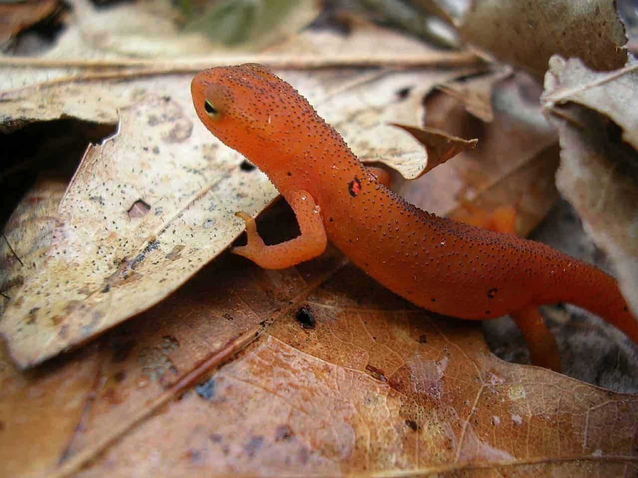 red lizard leaf