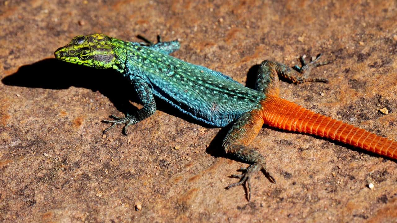 still lizard colorful