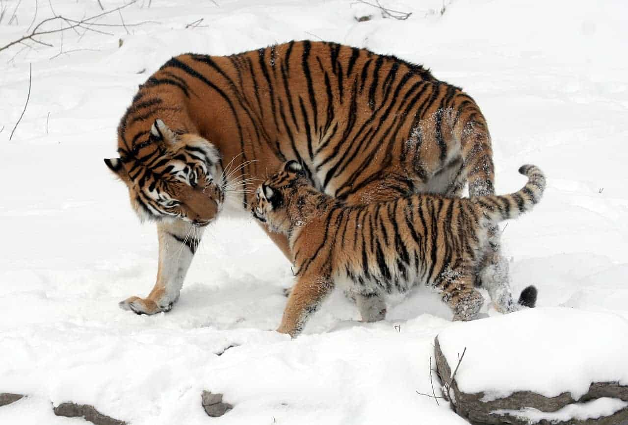 tiger and cub snow