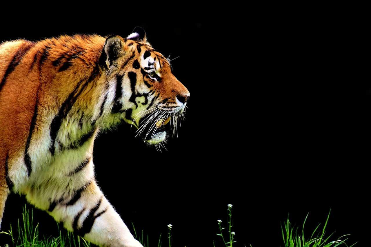 tiger walking roaming