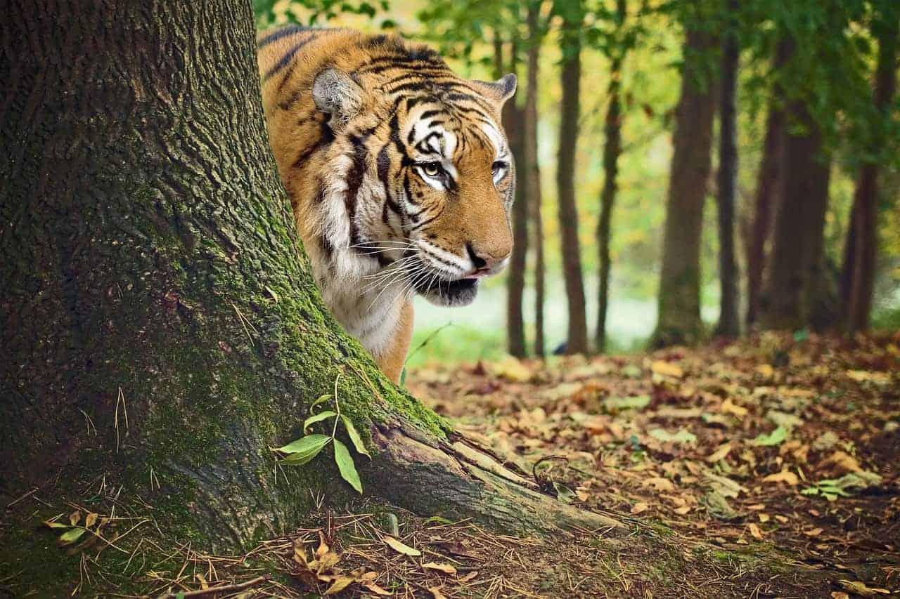 tiger behind tree