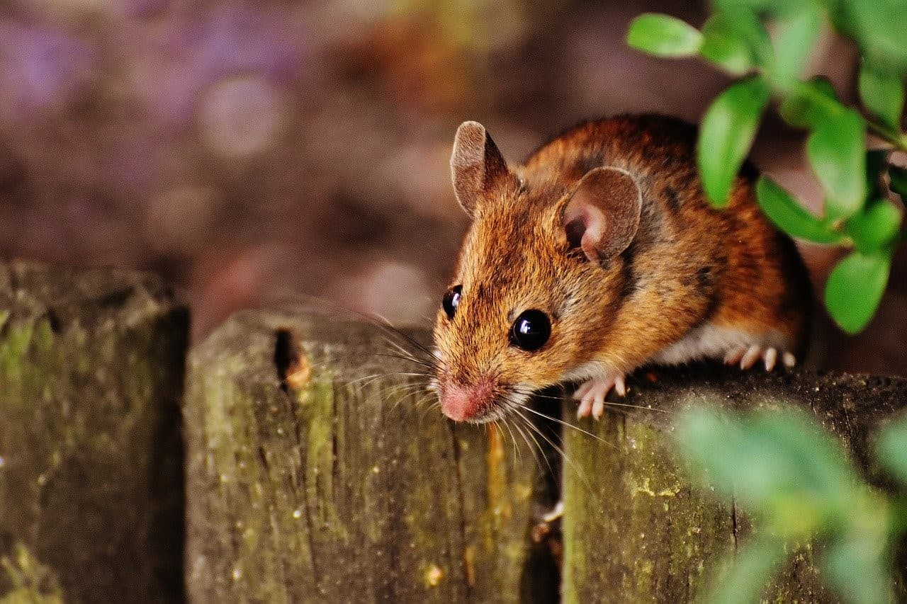 mouse on fence