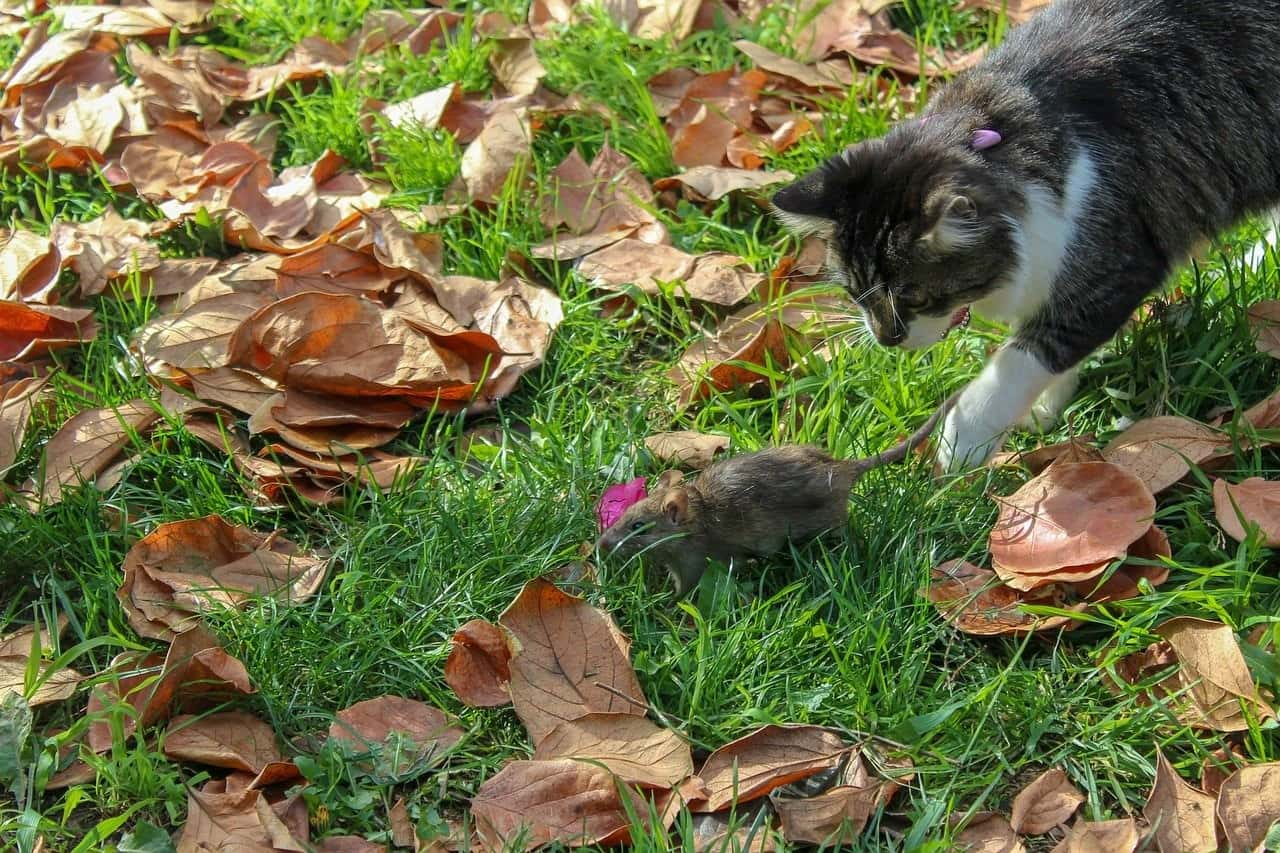 cat catching mouse