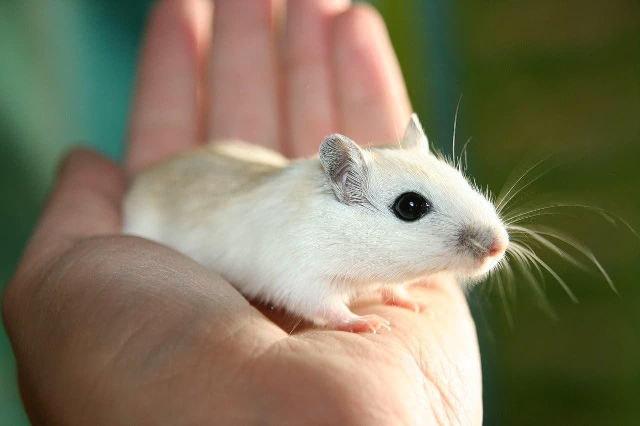 pet mouse palm