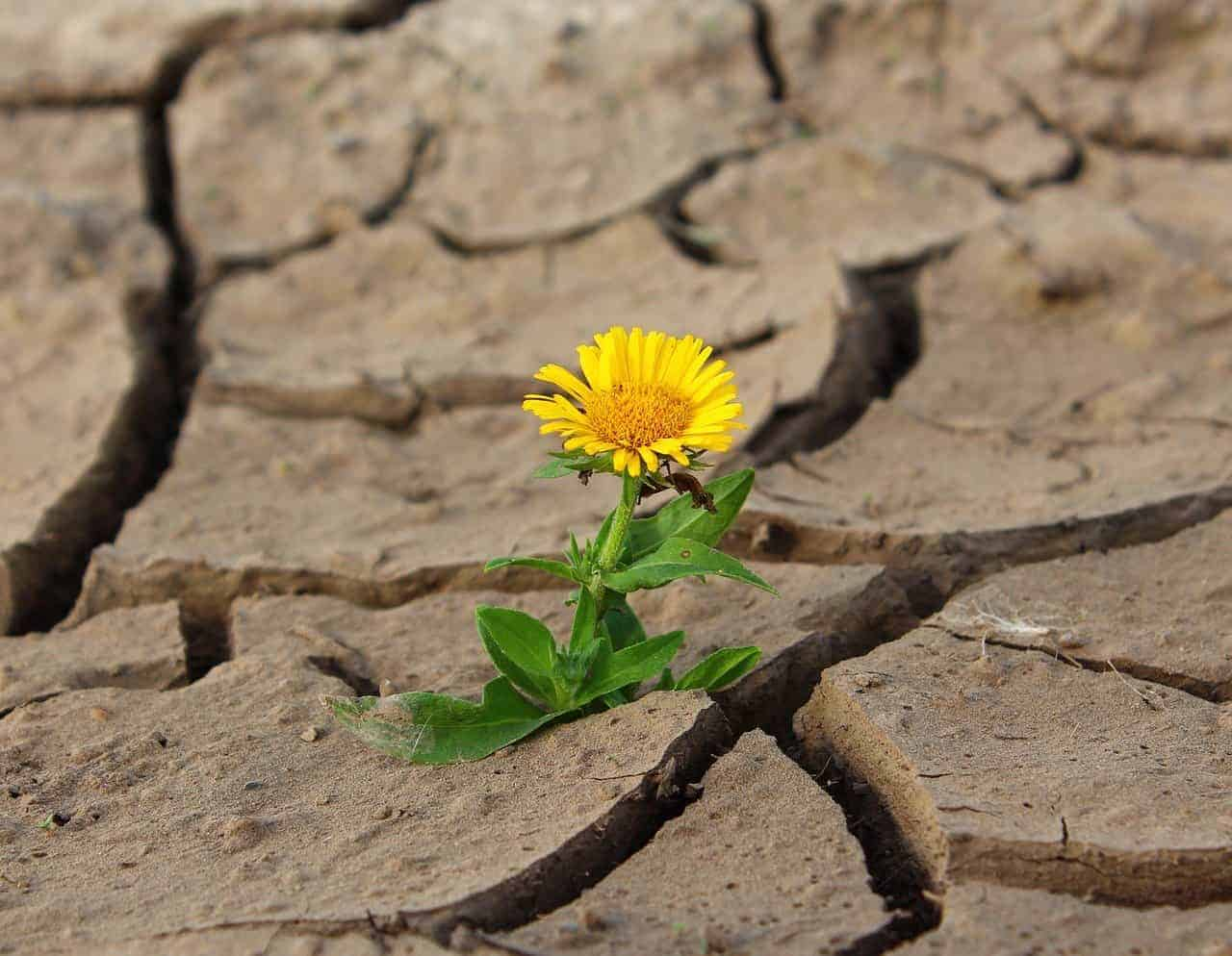 miracles flower drought