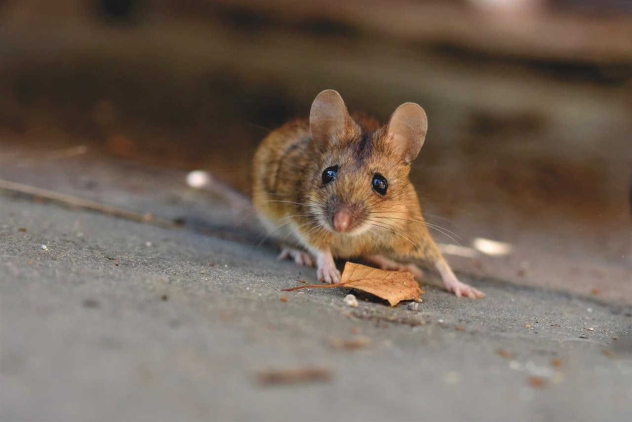 mouse escaping