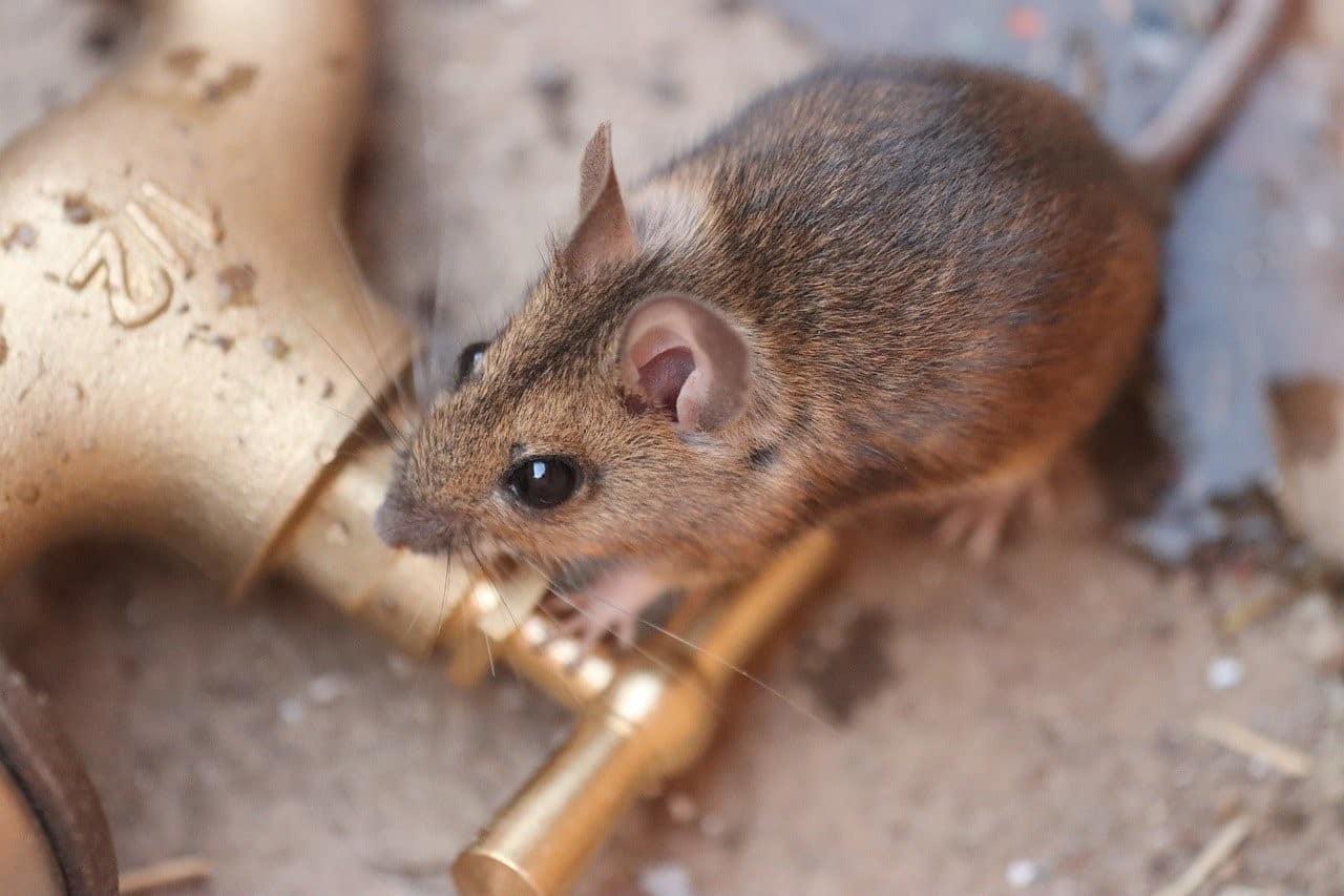 mouse running inside house