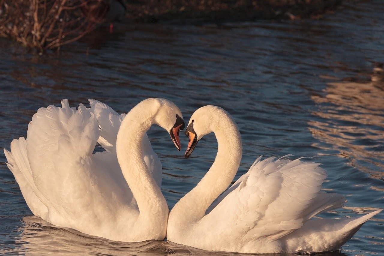 white swans symbols