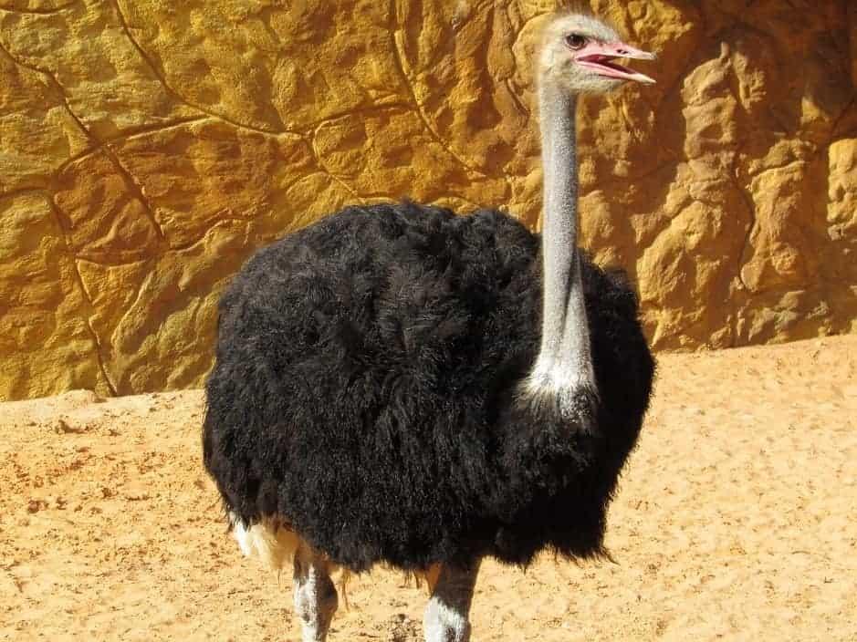 giant bird ostrich