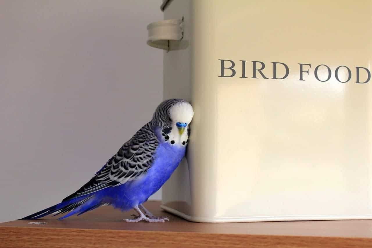pet bird blue