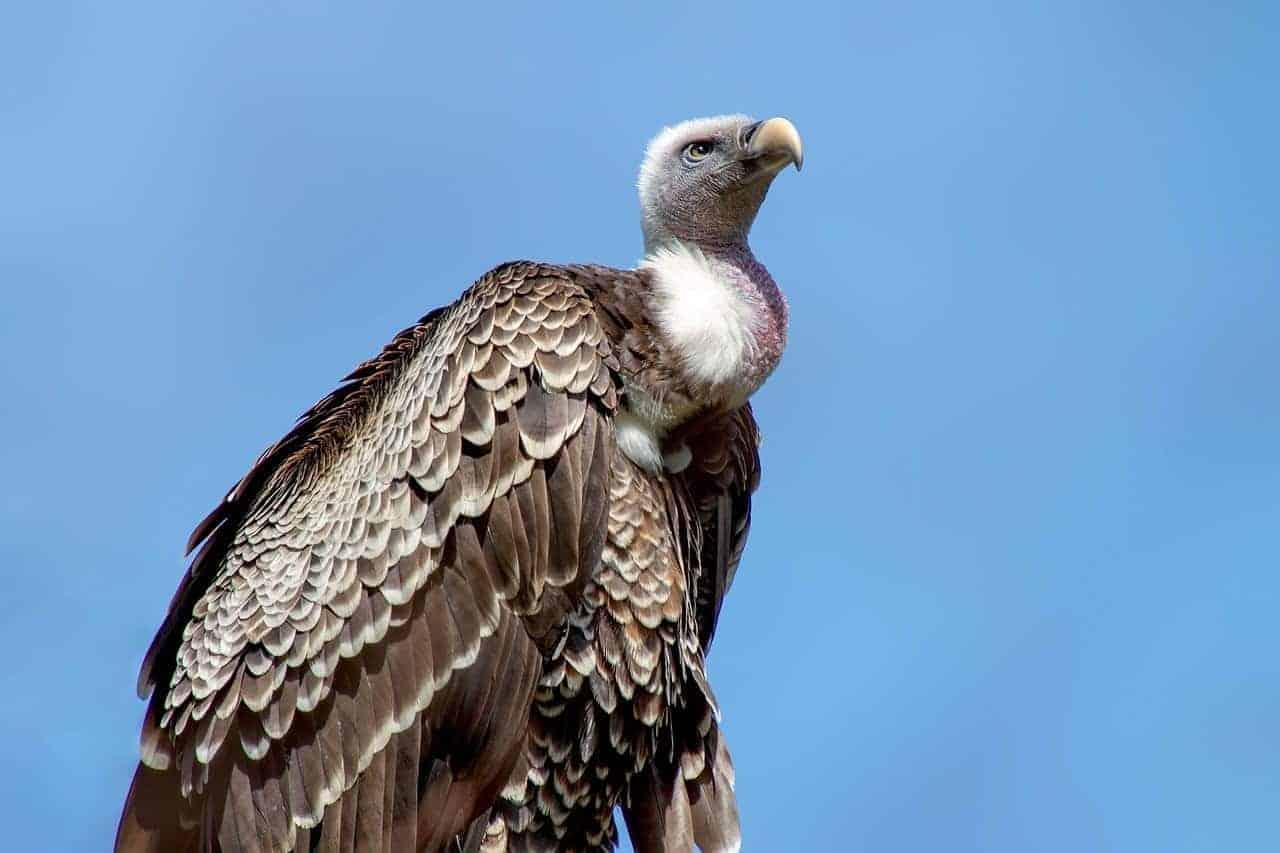 sky vulture