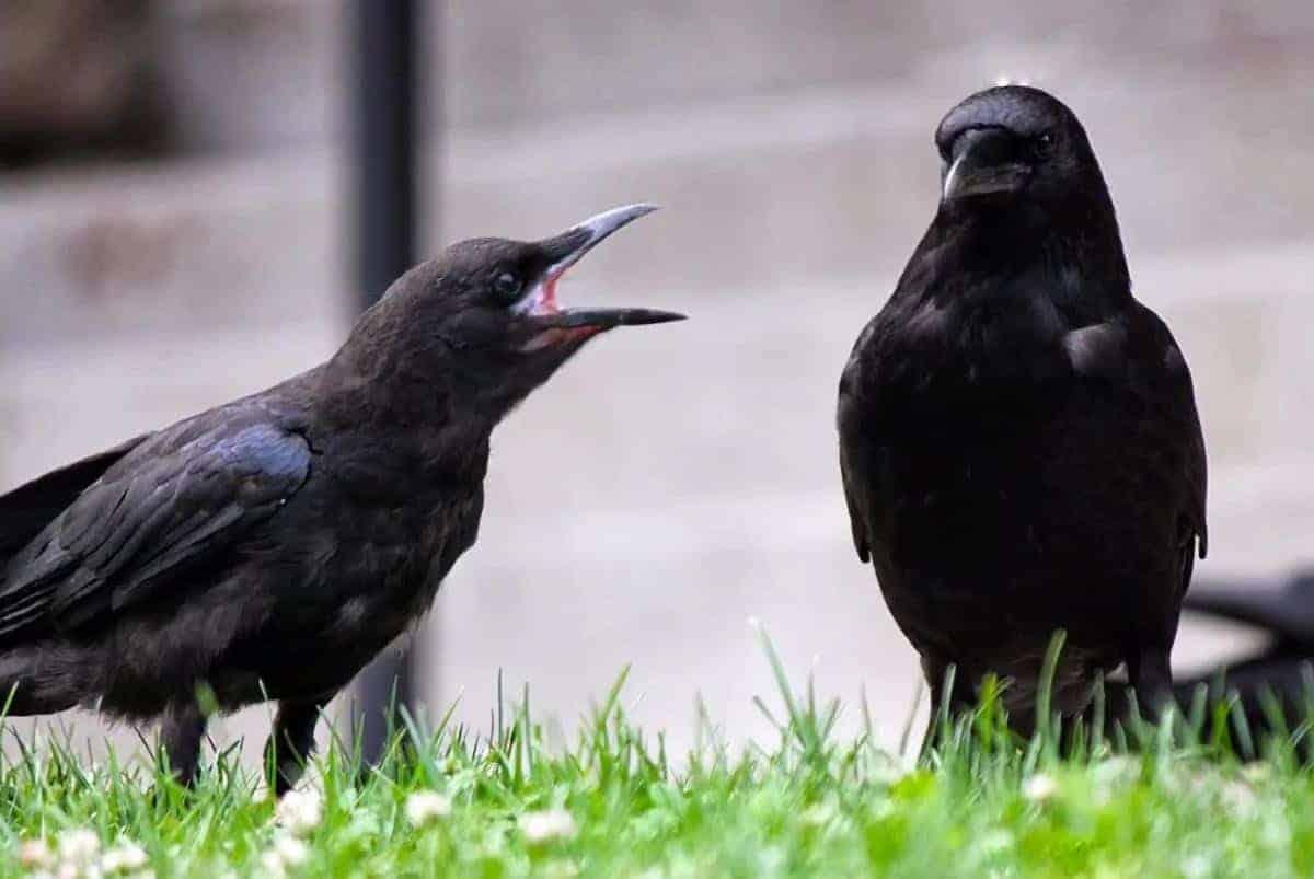 communicating crow