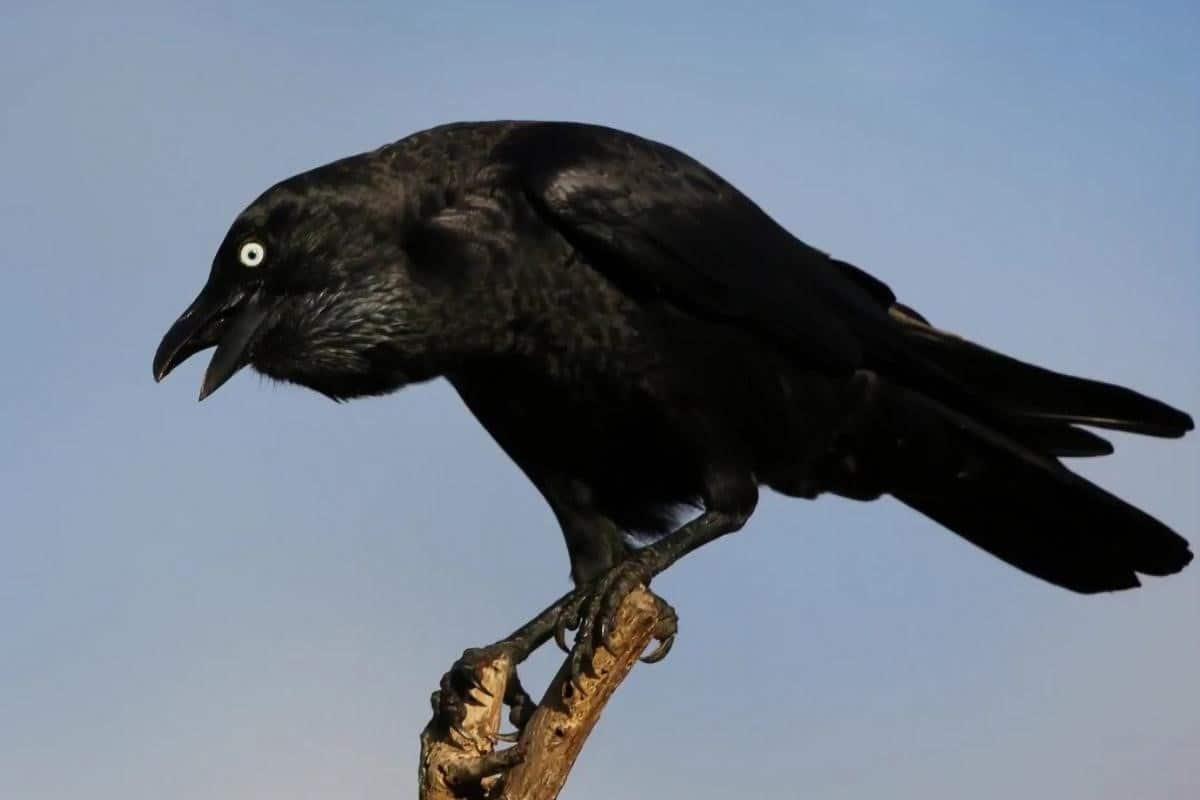 crow staring