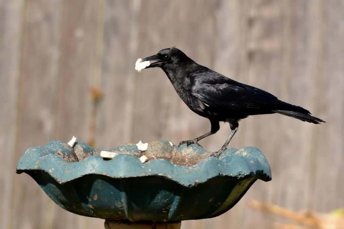 crow eating