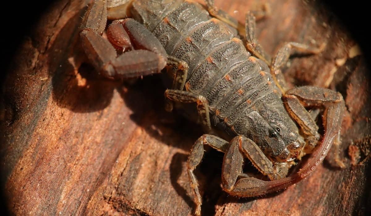 close up scorpion