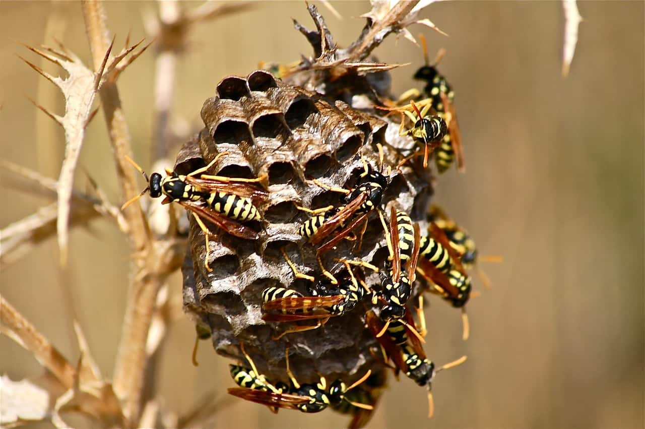 swarm wasp