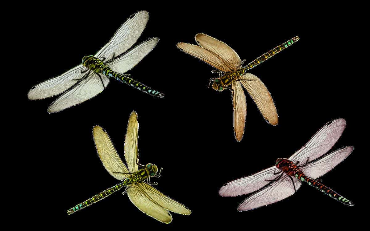 different dragonflies