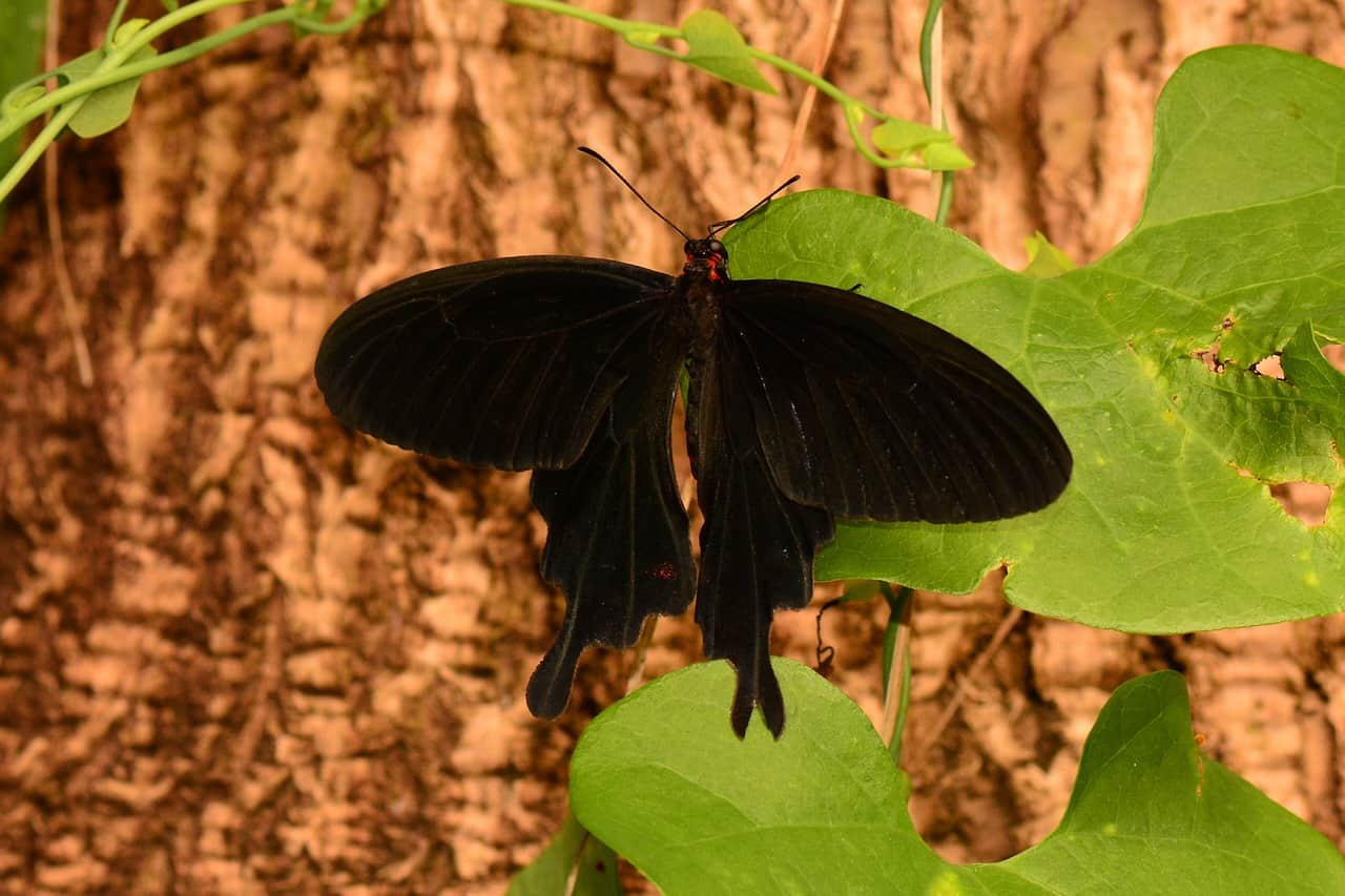 black butterfly tree