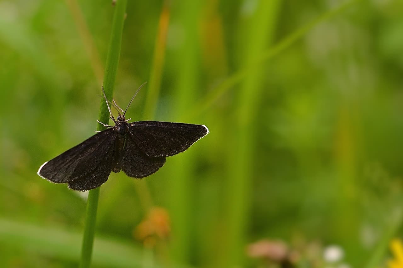 resting butterfly black