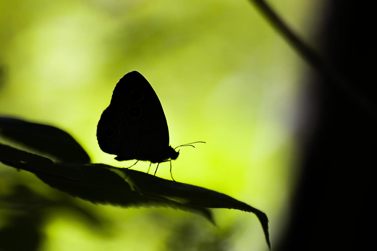 butterfly black silhouette