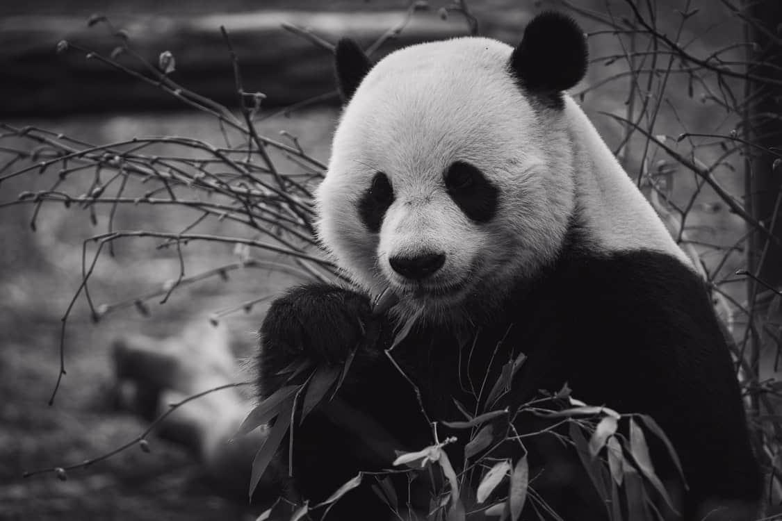 panda monochrome