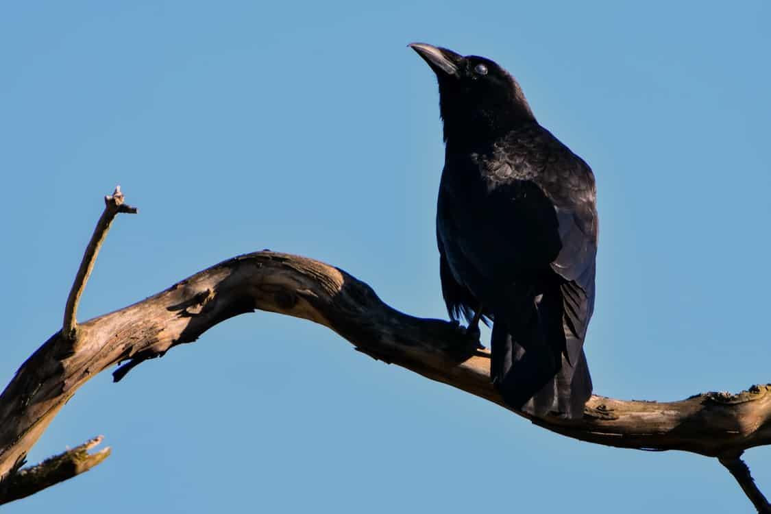 raven branch